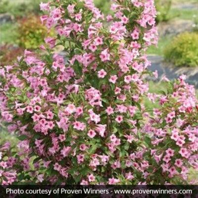 Sonic Bloom Pure Pink Weigela Garden Plant