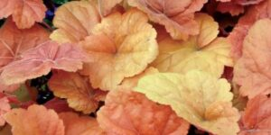 Southern Comfort Coral Bells Garden Plant