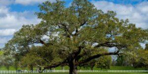 Southern Live Oak Garden Plant