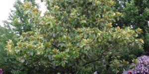 Southern Magnolia Garden Plant