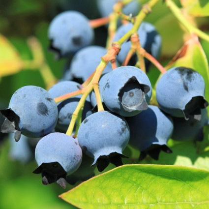 Spartan Blueberry Bush Garden Plant