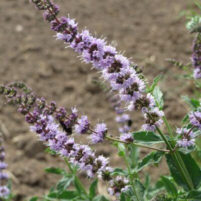 Spearmint Plant Garden Plant