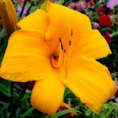 Spellbinder Daylily Garden Plant