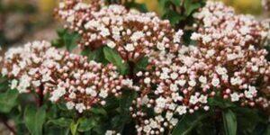 Spring Bouquet Laurustinus Garden Plant