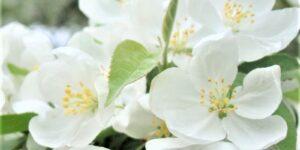 Spring Snow Crabapple Garden Plant