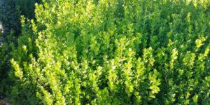 Sprinter Boxwood Garden Plant