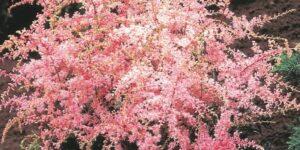Sprite Astilbe Garden Plant