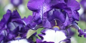 Stepping Out Tall Bearded Iris Garden Plant