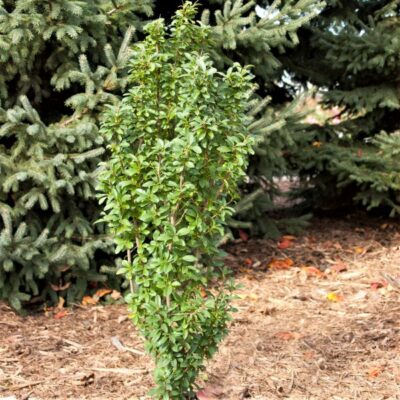 Straight Talk Privet Garden Plant