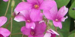 Strawberry Oxalis Garden Plant
