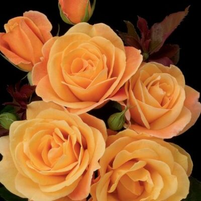 Strike it Rich Rose Garden Plant
