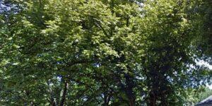 Stuart Pecan Tree Garden Plant