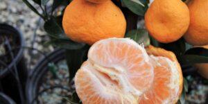 Sudachi Mandarin Garden Plant