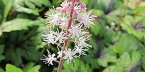 Sugar and Spice Foam Flower Tiarella Garden Plant