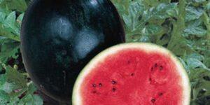 Sugar Baby Watermelon Garden Plant