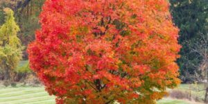 Sugar Maple Garden Plant