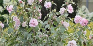 Sugar Tip Rose of Sharon Garden Plant