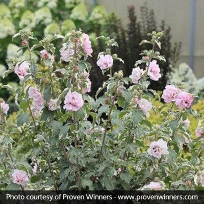Sugar Tip Rose of Sharon Garden Plant