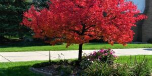 Summer Red Maple Tree Garden Plant