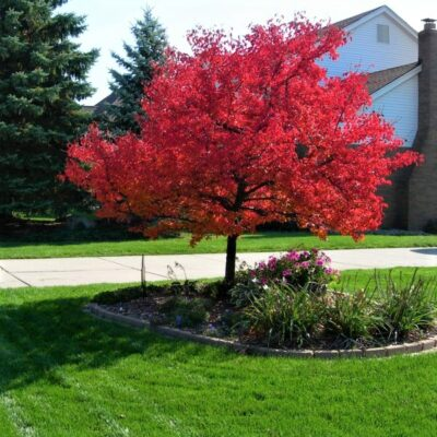 Summer Red Maple Tree Garden Plant