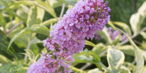 Summer Skies Butterfly Bush Garden Plant