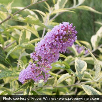 Summer Skies Butterfly Bush Garden Plant