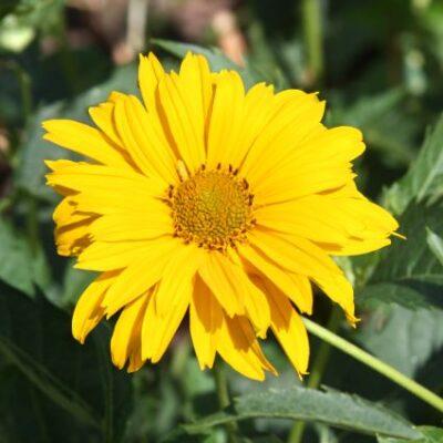Summer Sun Sunflower Heliopsis Garden Plant