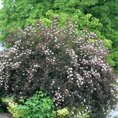 Summer Wine Ninebark Garden Plant