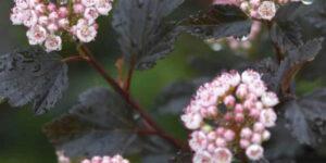 Summer Wine Ninebark Tree Form Garden Plant