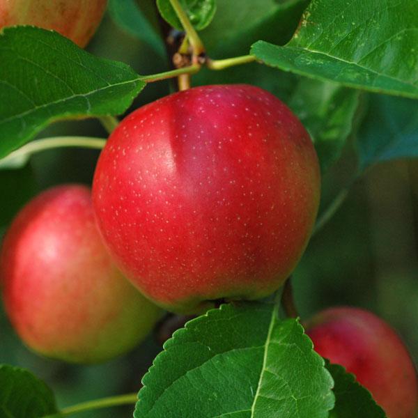Summerred Apple Tree Garden Plant