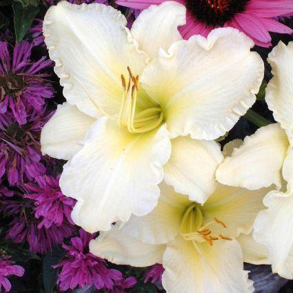 Sunday Gloves Daylily Garden Plant