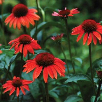 Sundown Coneflower Garden Plant