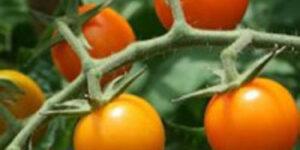 Sungold Cherry Tomato Garden Plant