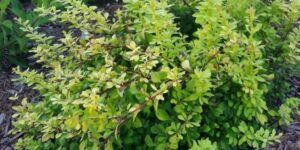 Sunjoy Citrus Barberry Garden Plant