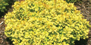 Sunjoy Gold Beret Barberry Garden Plant