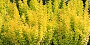 Sunjoy Gold Pillar Barberry Garden Plant