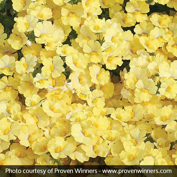 Sunsatia Lemon Nemesia Garden Plant