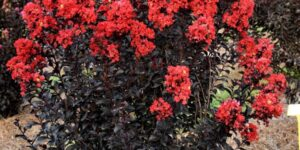 Sunset Magic Crape Myrtle Garden Plant
