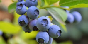 Sunshine Blue Blueberry Garden Plant