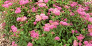 Superstar Spirea Garden Plant