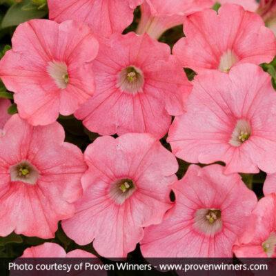 Supertunia Bermuda Beach Petunia Garden Plant