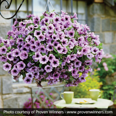 Supertunia Bordeaux Petunia Garden Plant
