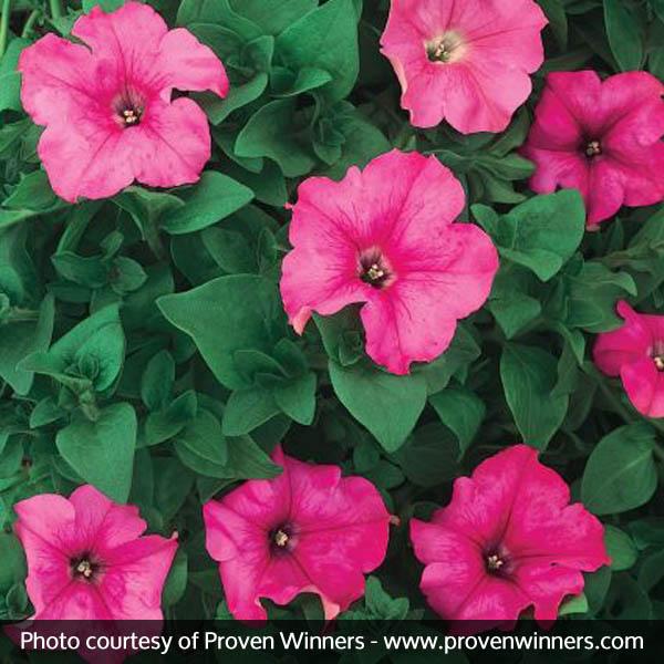 Supertunia Giant Pink Petunia Garden Plant