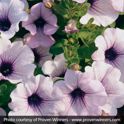 Supertunia Mini Blue Veined Petunia Garden Plant
