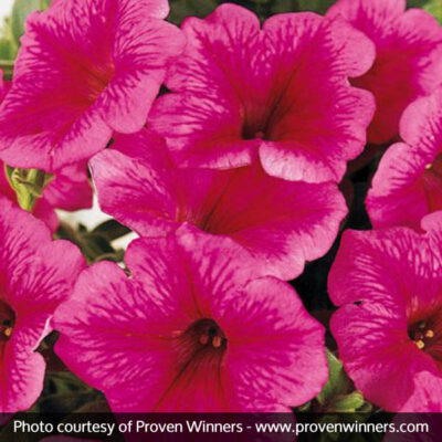 Supertunia Mini Strawberry Pink Veined Petunia Garden Plant