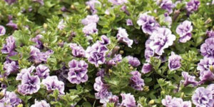 Supertunia Priscilla Petunia Garden Plant