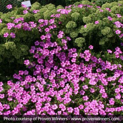 Supertunia Raspberry Blast Petunia Garden Plant