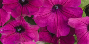 Supertunia Royal Magenta Petunia Garden Plant