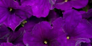 Supertunia Royal Velvet Petunia Garden Plant