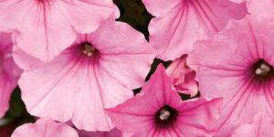Supertunia Vista Bubblegum Petunia Garden Plant